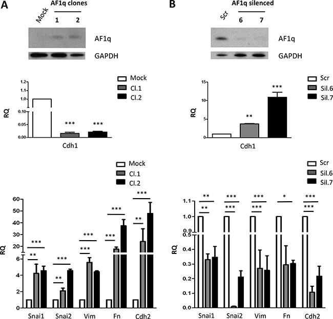 AF1q is involved in EMT transition in OVCAR-5 and TOV-21G ovarian cancer cells.