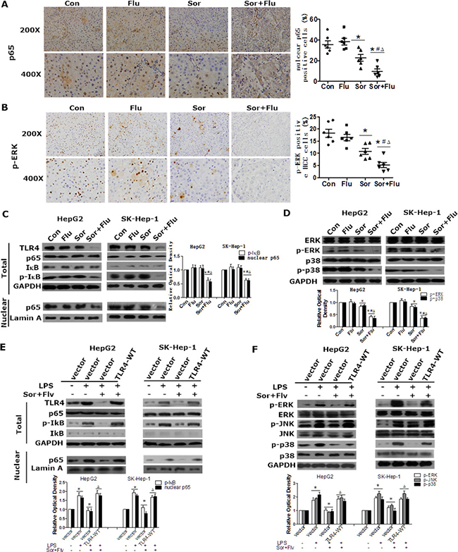 Sorafenib and fluvastatin inhibit the activation of the NF-κB and MAPK pathways in HCC.