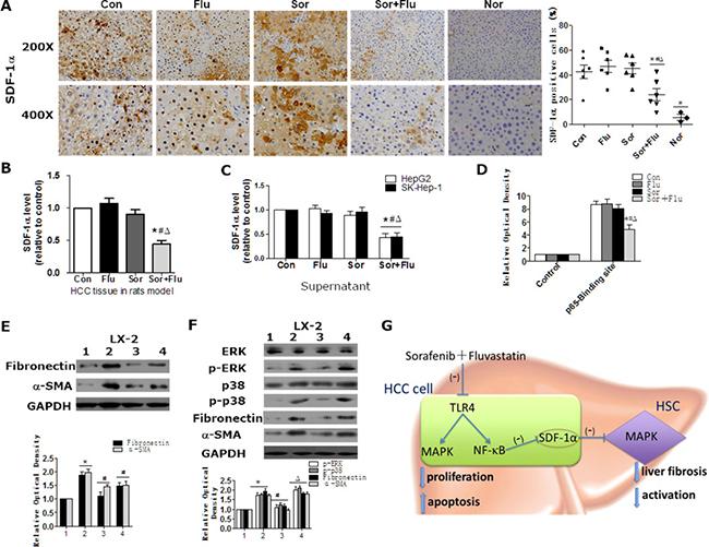 Sorafenib and fluvastatin inhibit the activation of HSCs by blocking the SDF1α/MAPK pathway.