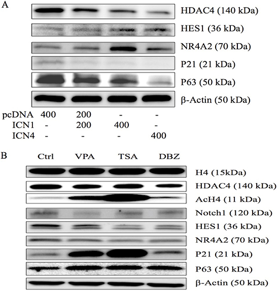 Western blot analysis was done to evaluate gene expression in HCC HTB-52 cells.