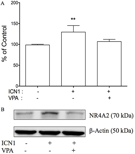 The effects of Notch signaling on cell proliferation and NR4A2 in HTB-52 cells.