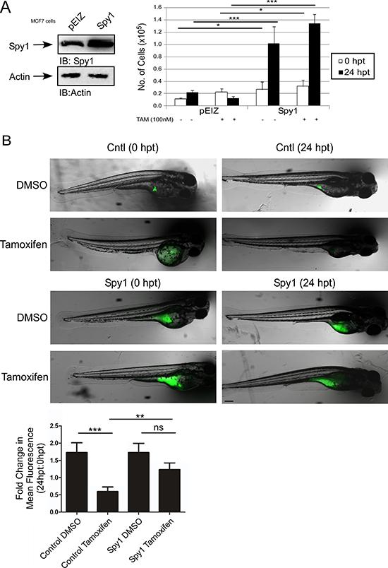 Spy1 levels affect tamoxifen response in vivo.
