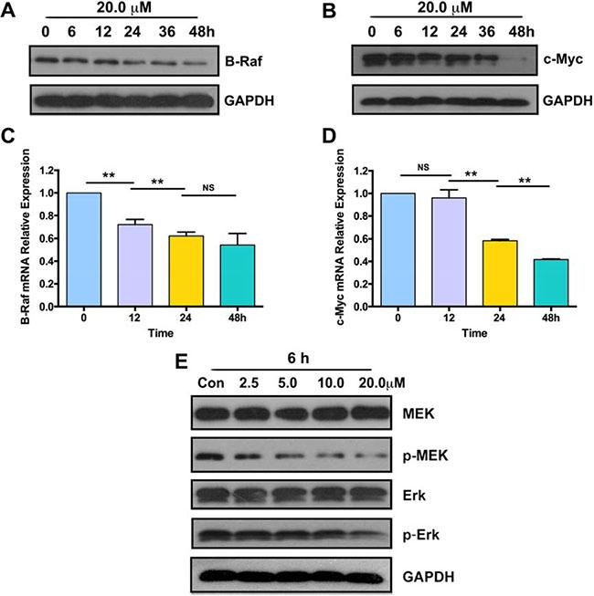 Parthenolide suppressed expression of B-Raf, c-Myc and phosphorylation of MEK, Erk.