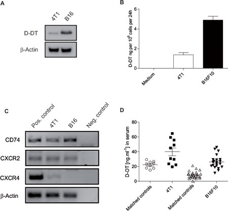 Expression and secretion of D-DT in two murine cancer cell lines.