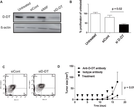 Effects of D-DT knock-down or neutralization on B16F10 tumor cells.