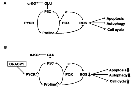 Diagram for the proposed effects of ORAOV1 on proline metabolism and ROS production.