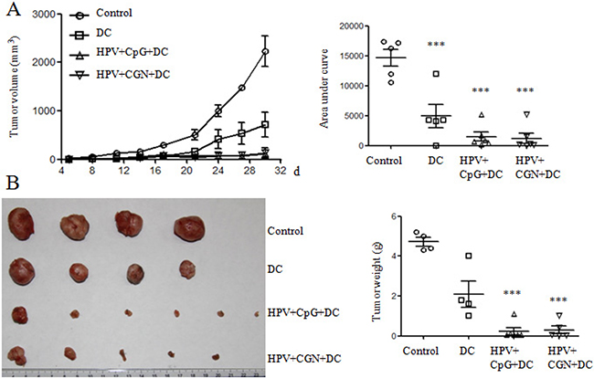 HPV DC-based vaccines suppressed tumor growth.