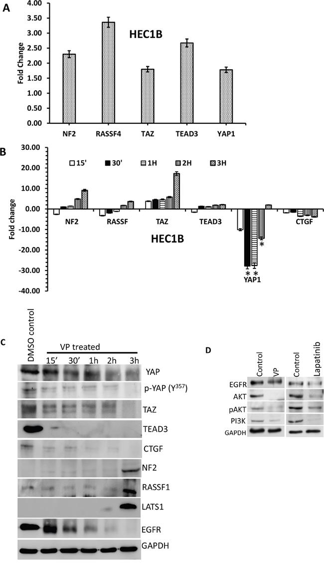 Effect of VP on HIPPO pathway genes of EMCA cells.