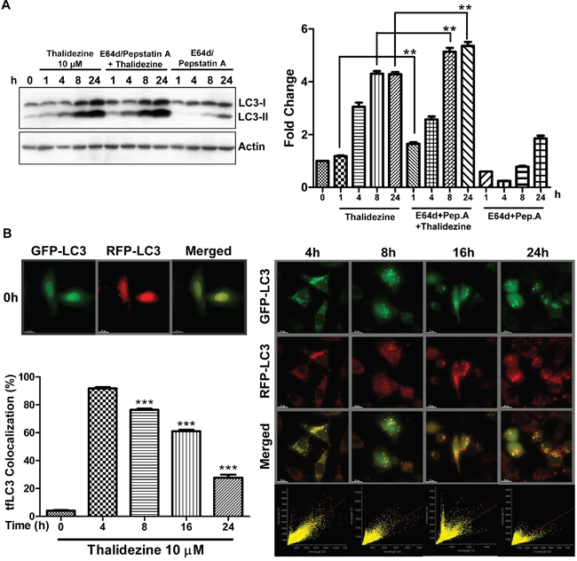 Thalidezine induces autophagic flux in HeLa cells.