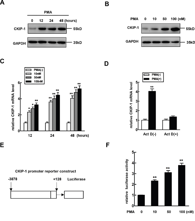 The expression of CKIP-1 is increased during megakaryocytic differentiation.