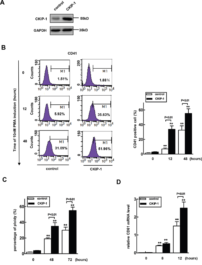 Overexpression of CKIP-1 in K562 cells induces events of early megakaryocytic differentiation.