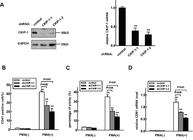 Knockdown of CKIP-1 in K562 cells inhibits PMA-induced megakaryocytic differentiation.