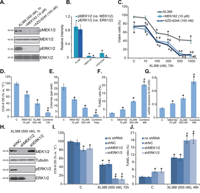 MEK-ERK inhibition potentiates XL388-induced cytotoxicity against RCC cells.