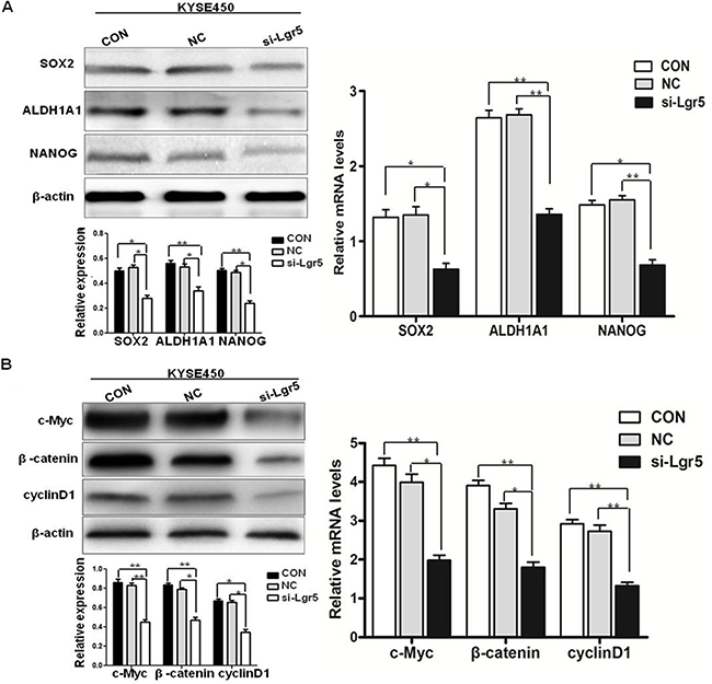 Silencing of Lgr5 enhances the expression of CSCs-related genes and the activity of the Wnt/β-catenin pathway.