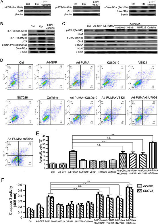 ROS-triggered DNA damage response is correlated with PUMA-induced apoptosis.