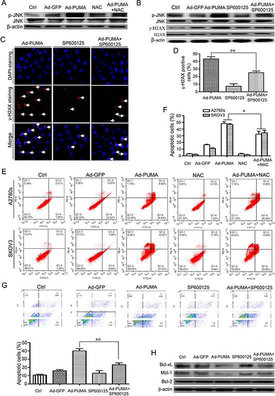 ROS-triggered JNK activation mediates DNA damage response and contributes to PUMA-induced apoptosis.