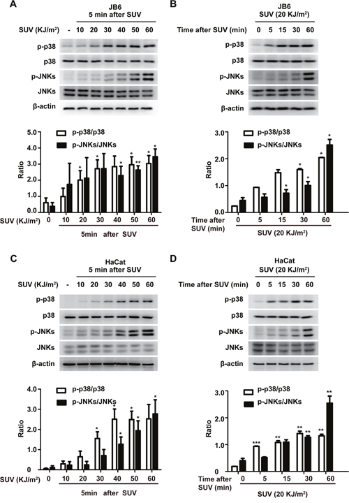 SUV irradiation induces the phosphorylation of p38 and JNKs in a dose- and time-dependent manner in JB6 Cl41 and HaCat cells.