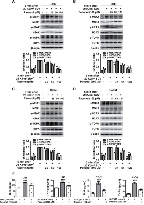 Paeonol down-regulates SUV-induced downstream TOPK signaling pathway in a dose- and time-dependent manner and inhibits the secretion of cytokines in the JB6 Cl41 and HaCat cells.