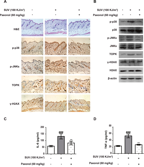SUV-induced inflammation was inhibited by paeonol in vivo.
