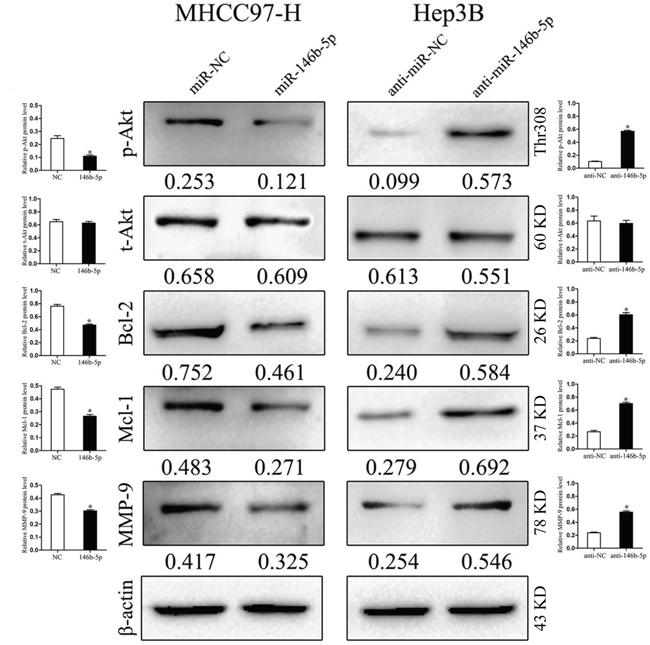 miR-146b-5p exerts its functions through inhibiting the TRAF6/p-Akt signaling pathway.