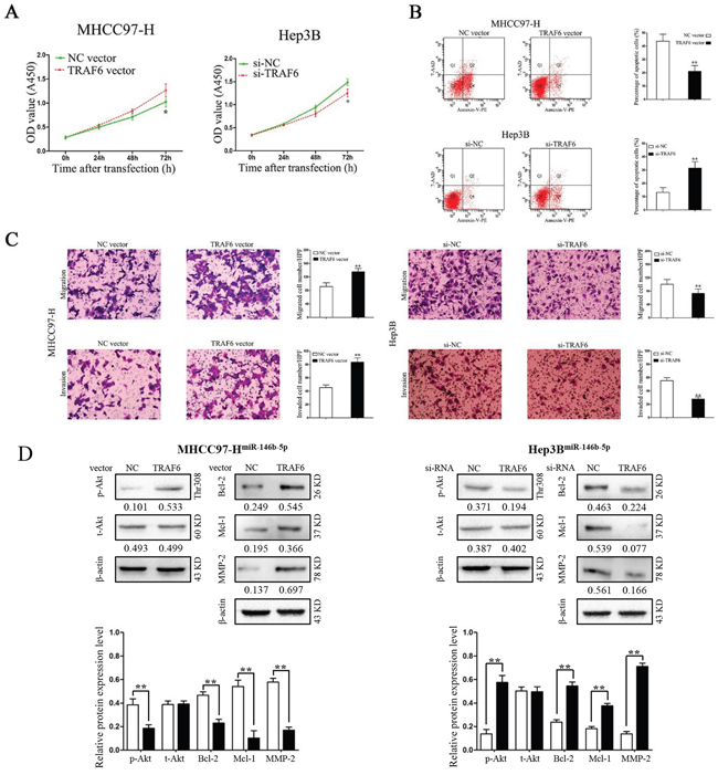 Modification of TRAF6 expression partly abrogated the functions of miR-146b-5p on HCC cells.