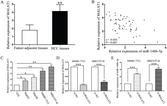 LncRNA MALAT1 negatively regulated miR-146b-5p expression in HCC.