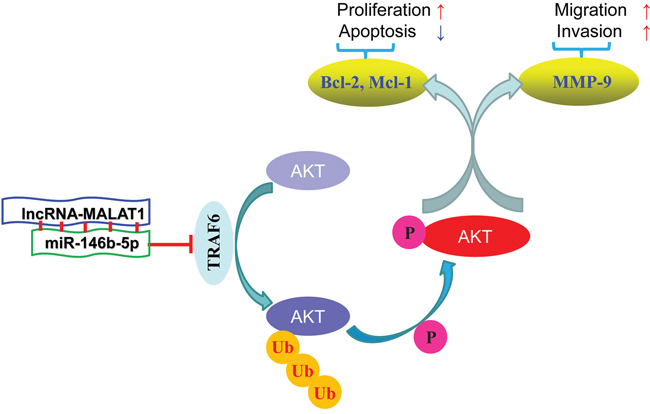 Diagrammatic sketch of the signaling pathway that miR-146b-5p arrests tumor growth and metastasis on HCC cells.
