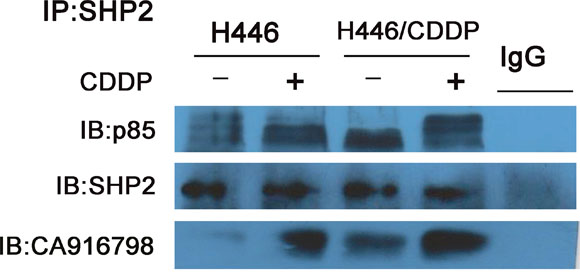 Binding of Shp2 to p85 and CA916798.