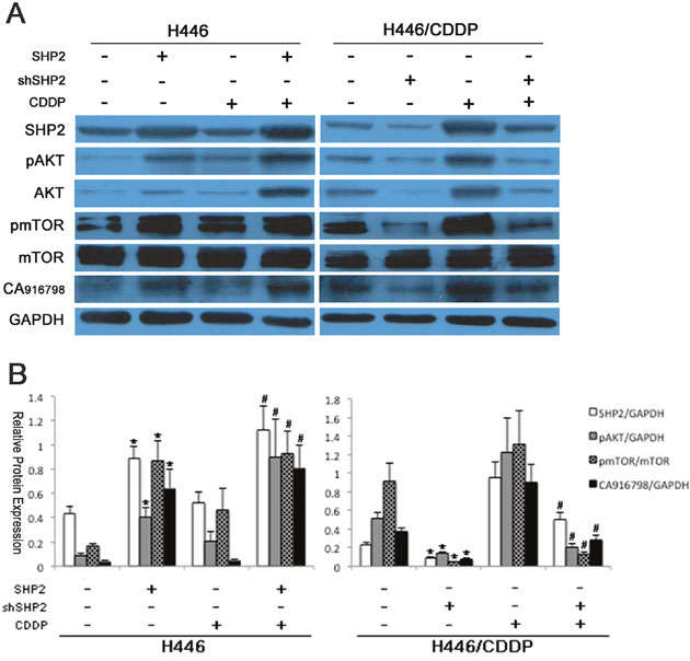 Protein expression before and after Shp2 expression was blocked via RNAi.