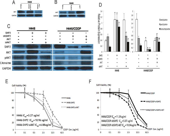 Protein expression levels and cisplatin sensitivity before and after AKT suppression by RNAi.
