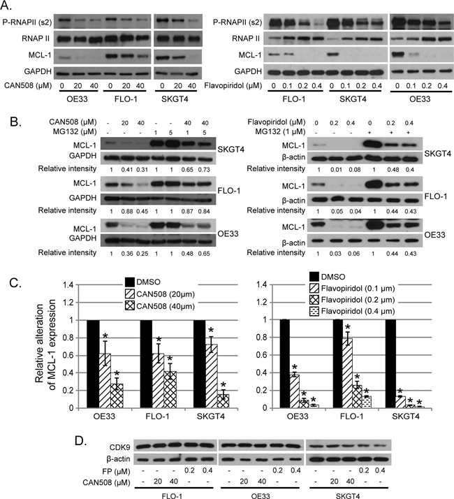 Effects of pharmaceutical inhibition of CDK9 on RNA Pol II phosphorylation and MCL-1 expression.