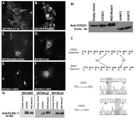 Validation of transgene expression in cultured 293-HEK and WiT49 cells.