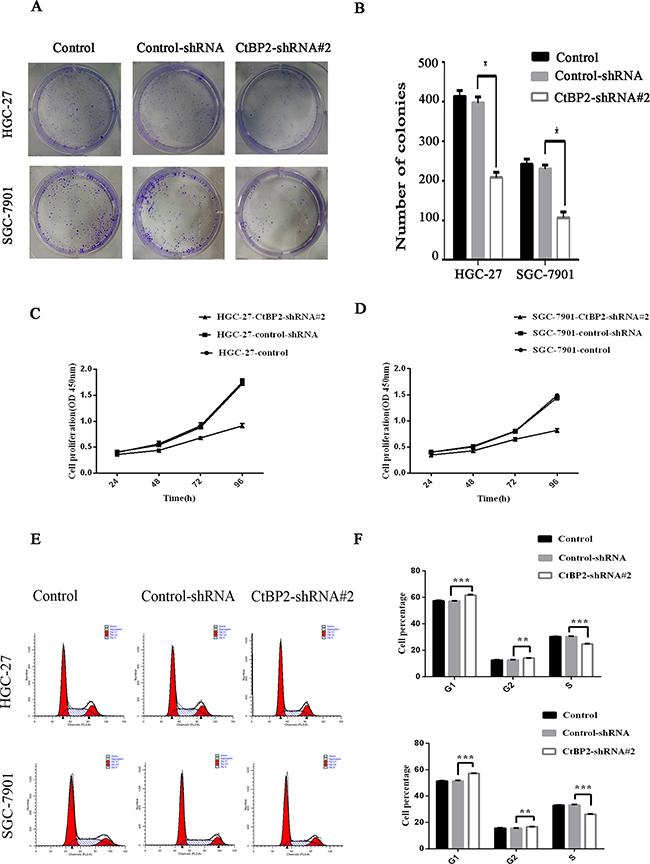 Knockdown of CtBP2 suppresses cell proliferation in vitro.