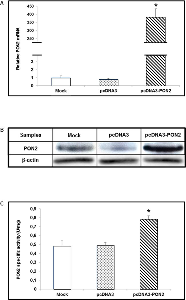 PON2 expression levels in T24 cells.