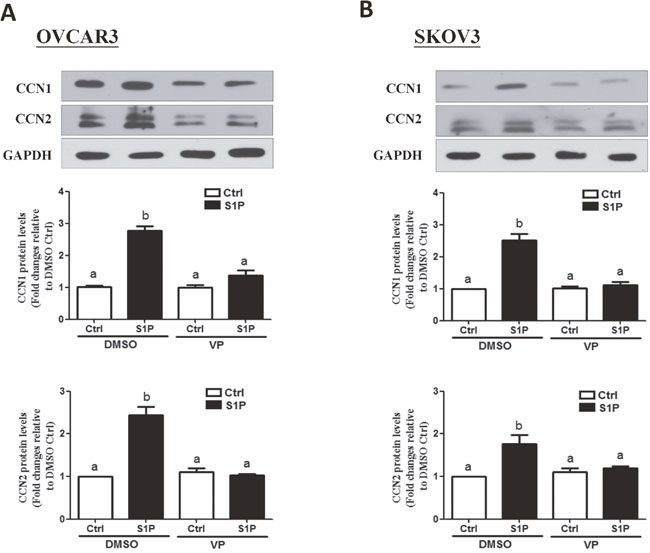 Verteporfin (VP) abolishes the S1P-induced increases in protein levels of CCN2 and CCN1 in OVCAR3 and SKOV3 cells.