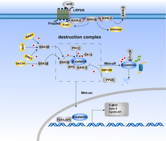 Phosphorylation of β-catenin and its degradation.