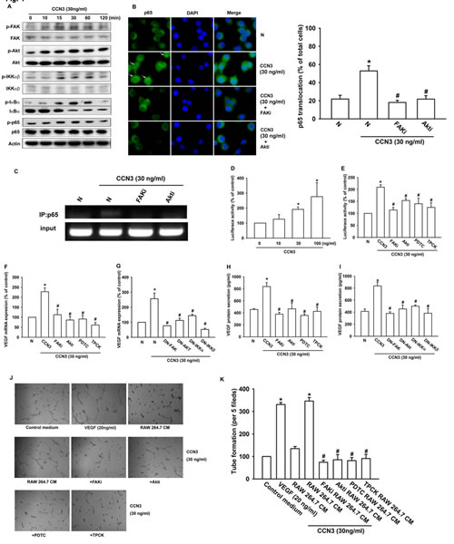 Fig 4: CCN3 increases VEGF expression and angiogenesis by stimulating FAK/Akt/NF-κB signaling in RAW264.7 macrophages.