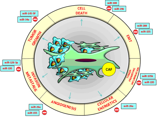 CRC and HCC- associated microRNAs with an essential impact on the functions of cancer- associated fibroblasts (CAFs) in the tumor microenvironment.