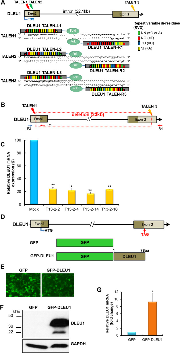 TALENs-induced DLEU1 knockdown and DLEU1 stably overexpressing Raji cell line.