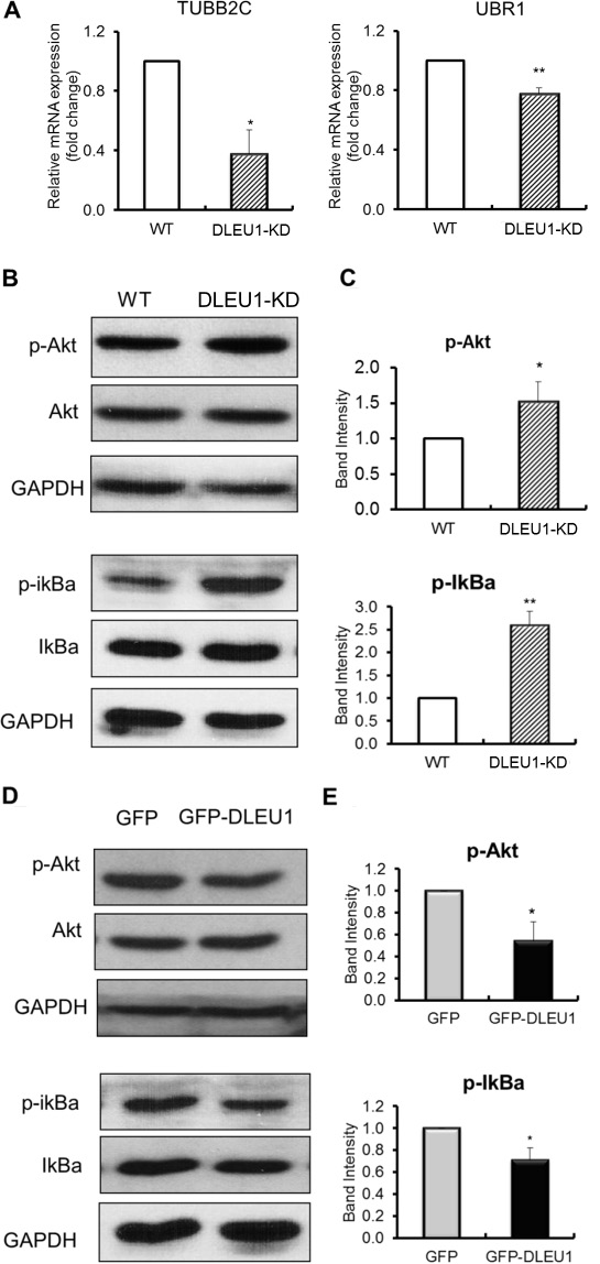 DLEU1 regulates the expression of network genes and signaling pathways.