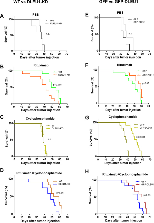 Survival of DLEU1-KD and GFP-DLEU1 mice treated with rituximab, cyclophosphamide and rituximab/cyclophosphamide combination.