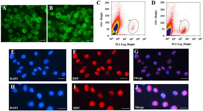 Isolation and purification of FGSCs and SSCs.