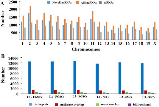 Chromosomal distribution and classification of the novel lncRNAs.
