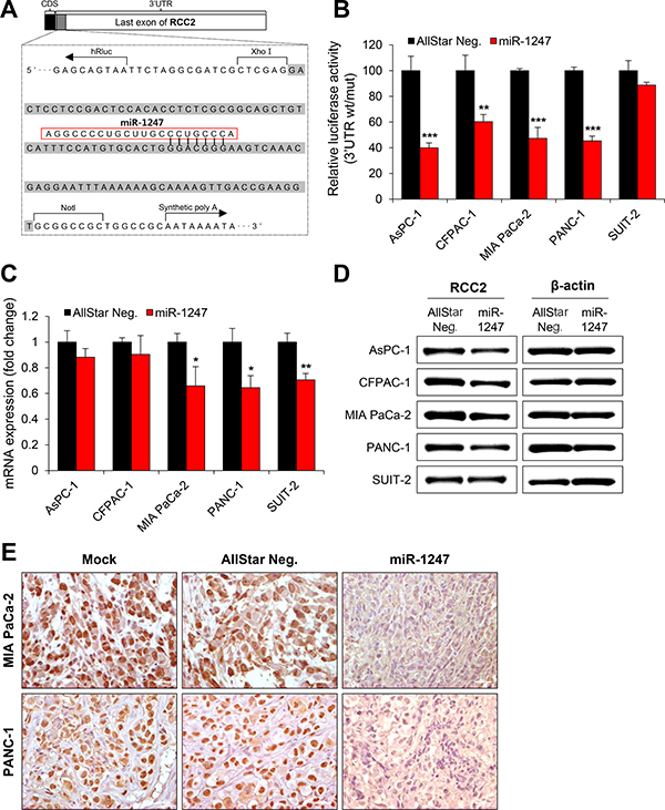 MiR-1247 targets RCC2 in pancreatic cancer cells.