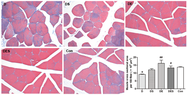 Spermidine coupled with exercise training reduced D-gal-induced damage of skeletal muscle, and suppressed or rescued the decline of sectional area of skeletal muscle fibers.