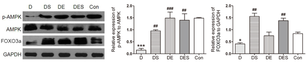 Spermidine combined with exercise enhanced AMPK-FOXO3a signal pathway in D-gal-induced aging gastrocnemius muscle.