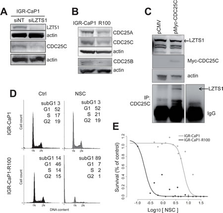 Implication of CDC25C in the Docetaxel resistance mechanism.
