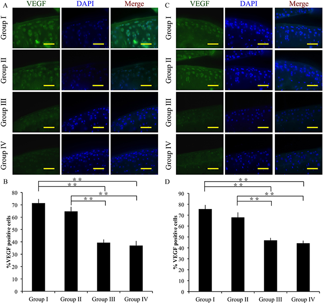 Effect of crizotinib on chondrocyte angiogenesis in vivo.