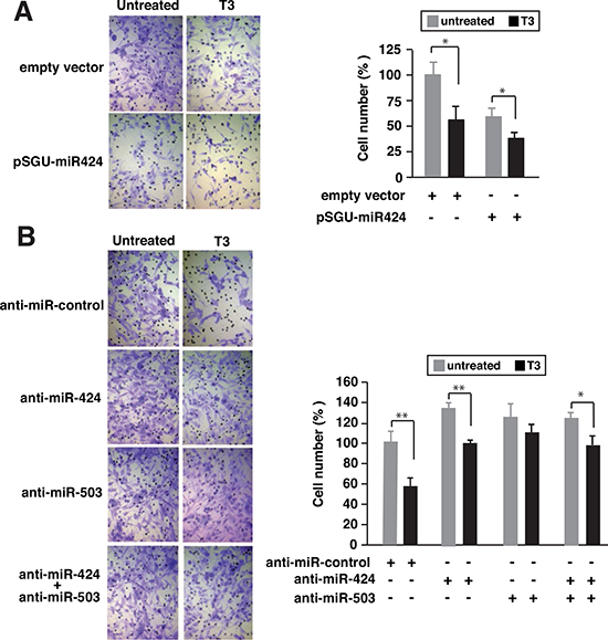 Depletion of miR-424 and miR-503 reduces the inhibitory effect of T3 on cellular invasion.