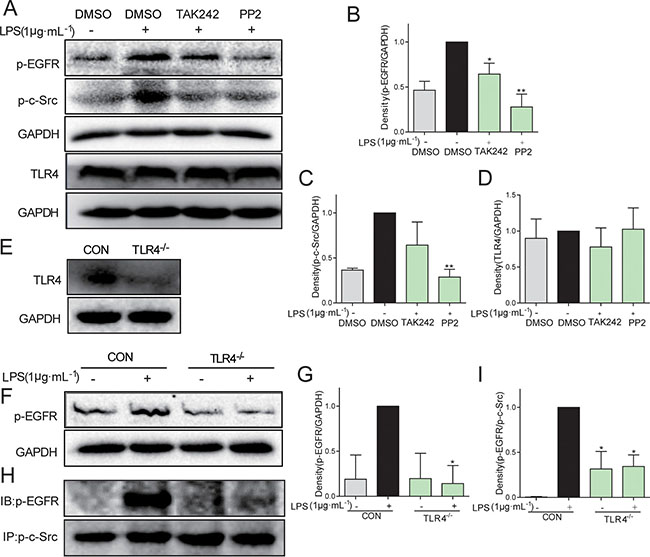 C-Src mediated TLR4-dependent EGFR transactivation in MPMs exposed to LPS.